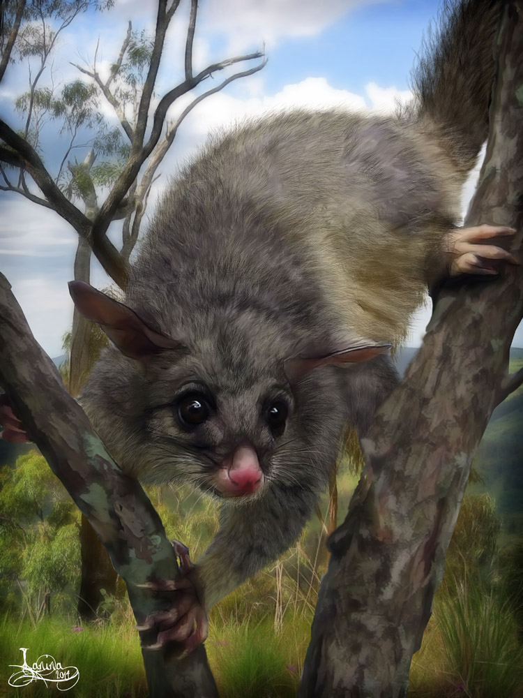 Schliessen von common-brushtail-possum01b.jpg