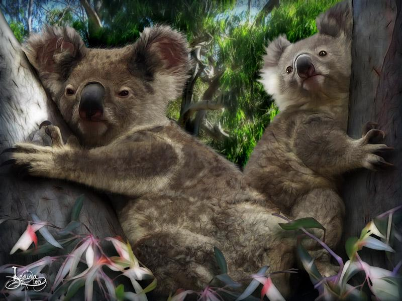 Click for the original size :Koala14b.jpg