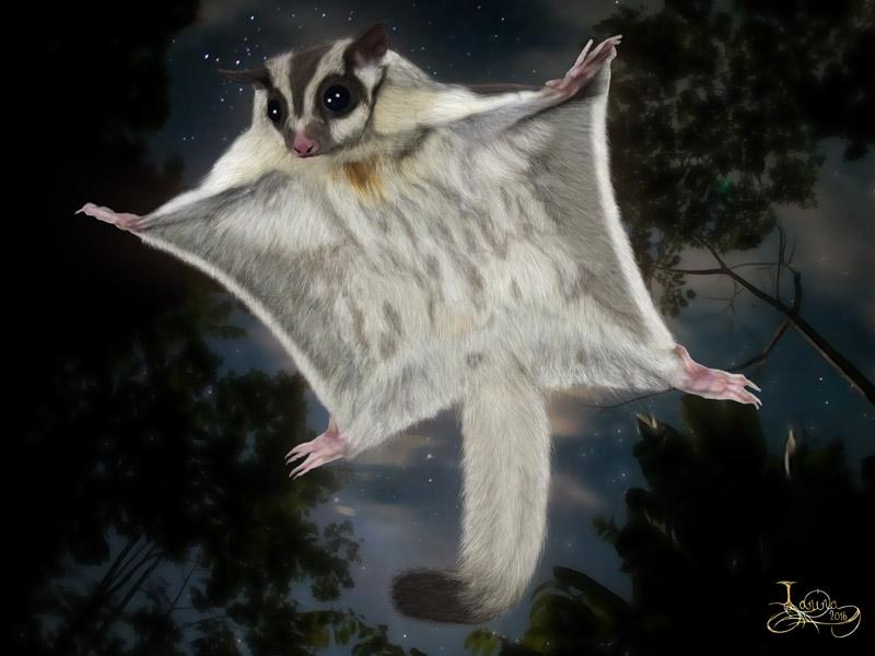 Click for the original size :Sugar_glider04b.jpg