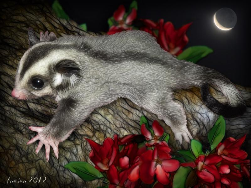 Click for the original size :Sugar_glider09b.jpg