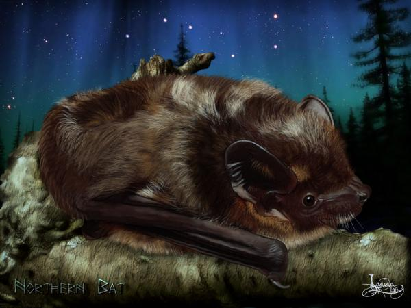 Click for the original size :Nordfledermaus01b.jpg