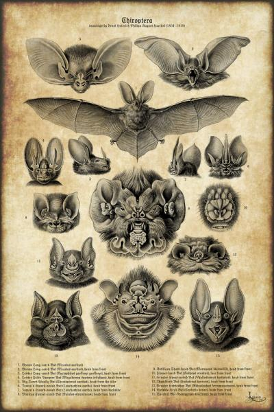 Click for the original size :03Haeckel_Chiroptera01b.jpg